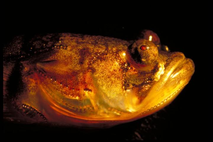 미드쉽맨 물고기는 밤마다 낮고 묵직한 노래를 부른다. - 코넬대 제공
